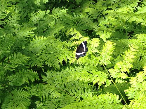 A butterfly among the ferns