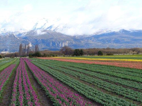 Campo de Tulipanes, pròximo a Trevelin