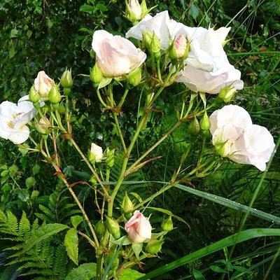 rozen in de levenstuinen