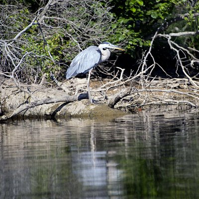 Great Blue Huron