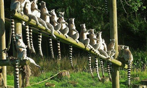 lemurs on the line