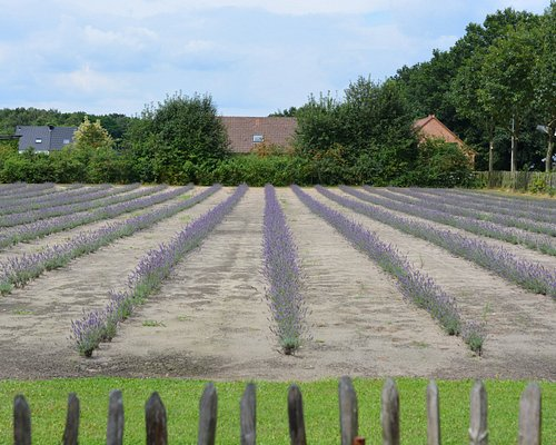 the new lavender fields