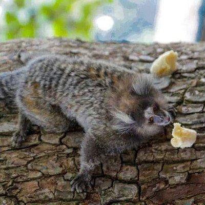 Os micos/saguís comendo banana