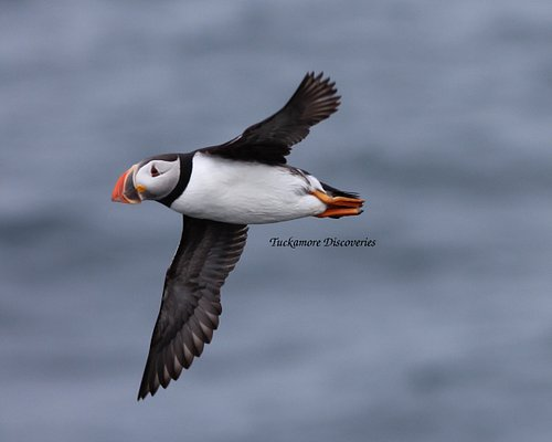 Puffin fly-by. August 2, 2016