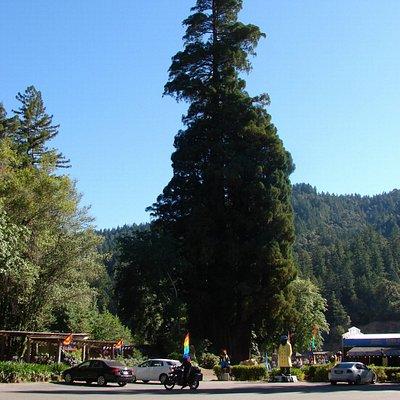 One Big Tree !!