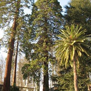 Las sequoias del bosque La Acebera, Lugones (foto año 2.008)