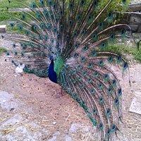 Un pavone maschio all'interno del parco
