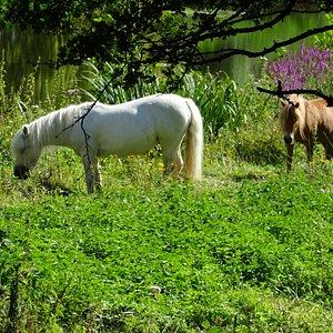 pony's bij Fort de Schans,Texel