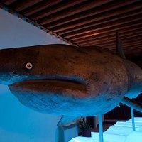 Olivia, lo squalo elefante