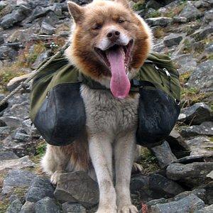 polar dog, hike summer