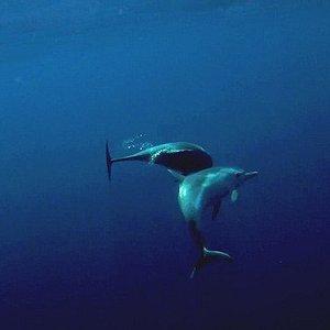 Dauphins bleu et blanc