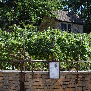 Vignes près du Château Pécauld, point de départ du parcours