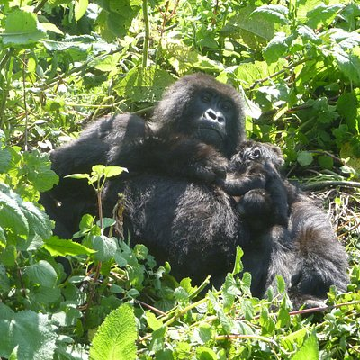 mother gorilla in volcanoes national park with baby of about 3 weeks old