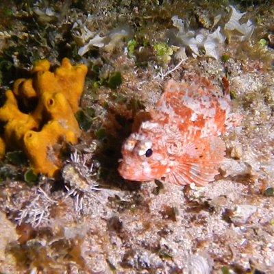 Nachttauchen Insel Porer - und noch ein kleiner Drachenkopf