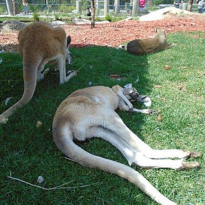 Visite de l'enclo des kangourous (note: pas de zoom sur la photo, distance réelle).