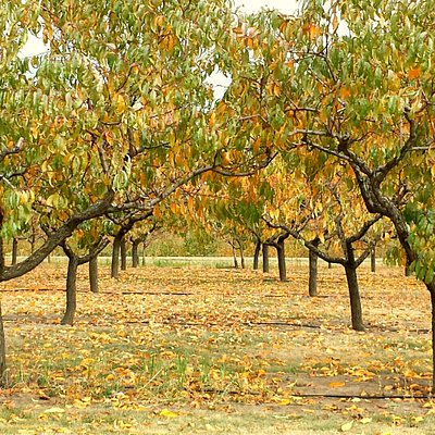 Orchard in the fall.
