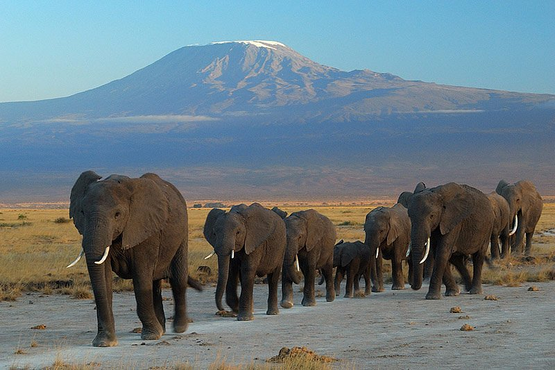 Elephant herd at Amboseli National Park, Kenya with a view of Mt. Kilimanjaro.