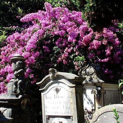 All in bloom. Overhanging the headstones.