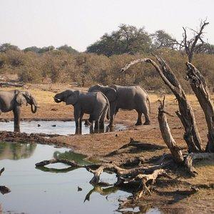 elephant of chobe