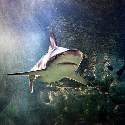 Große Haivielfalt im SEA LIFE München - Schwarzspitzen Riffhai