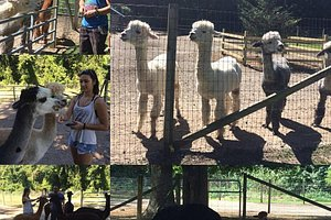 our visit to the alpaca farm