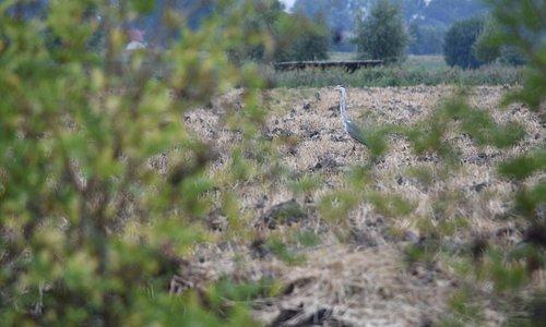 Blauwe reiger. een van de vele vogels die in de Uitkerse Polders zonder moeite te zien zijn.