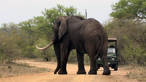 Game Drive on Kruger Park Safari - Sighting of a big Elephant Bull