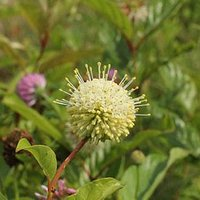 One of 107 native plants grown at Reuthinger Preserve