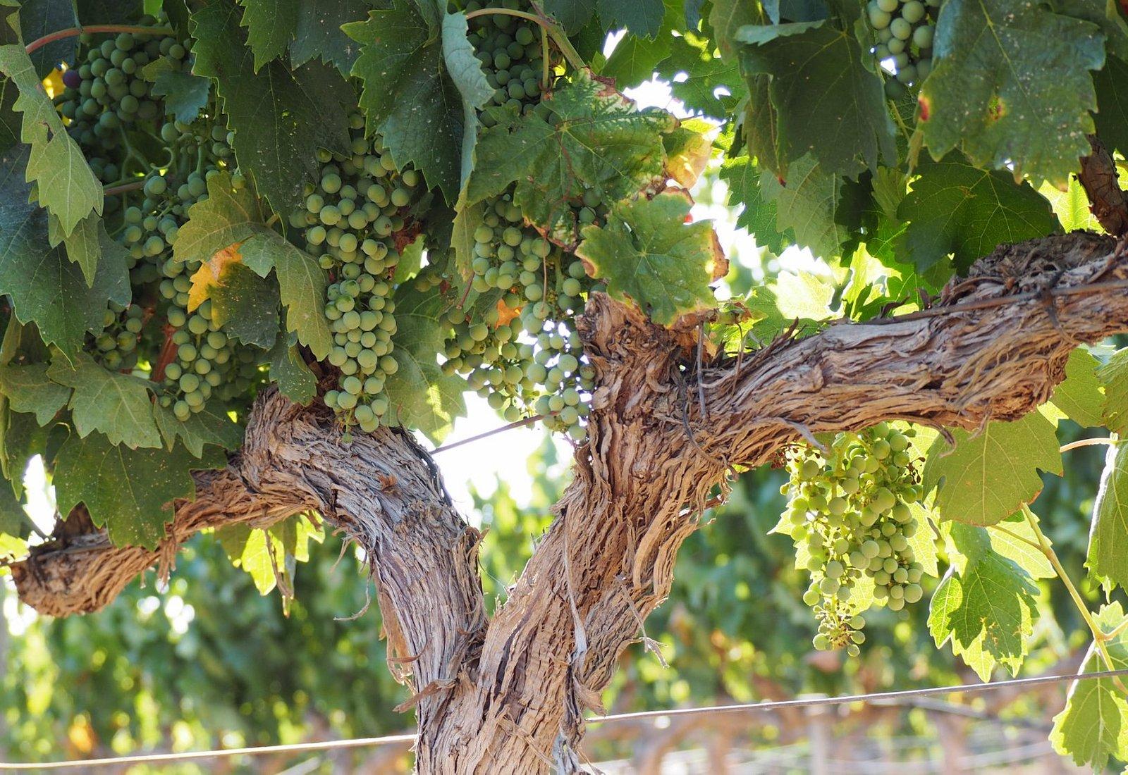 viña de uva