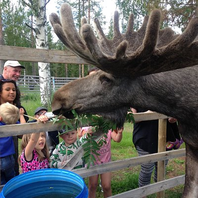 Kids feeding the moose.