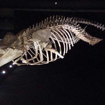 esqueleto de baleia