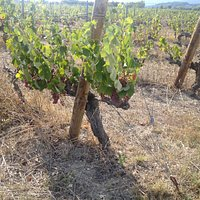 Vines with grapes