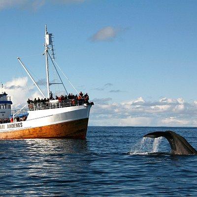 M/S Reine with a sperm whale