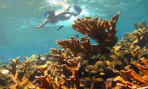 Corales Cuerno de Alce y escuela de Roncos en la reserva de Biósfera Seaflower de San Andrés Isl