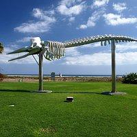 Szkielet wieloryba Jandia
