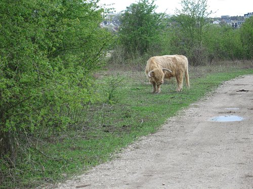 Parc départemental de la Haute-Ile - un yack