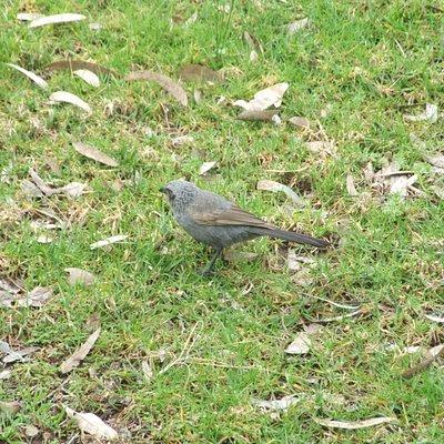 Apostle bird beyond the Black Stump
