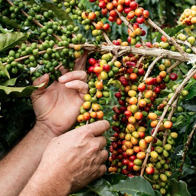 Coffee cherries ready to be harvested