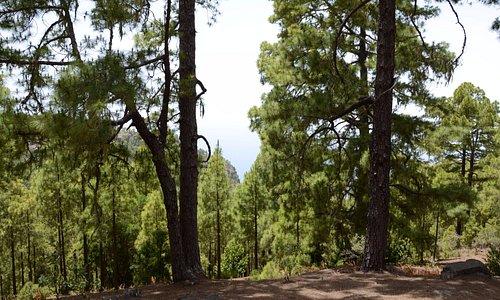 Las sosnowy w rezerwacie Inagua