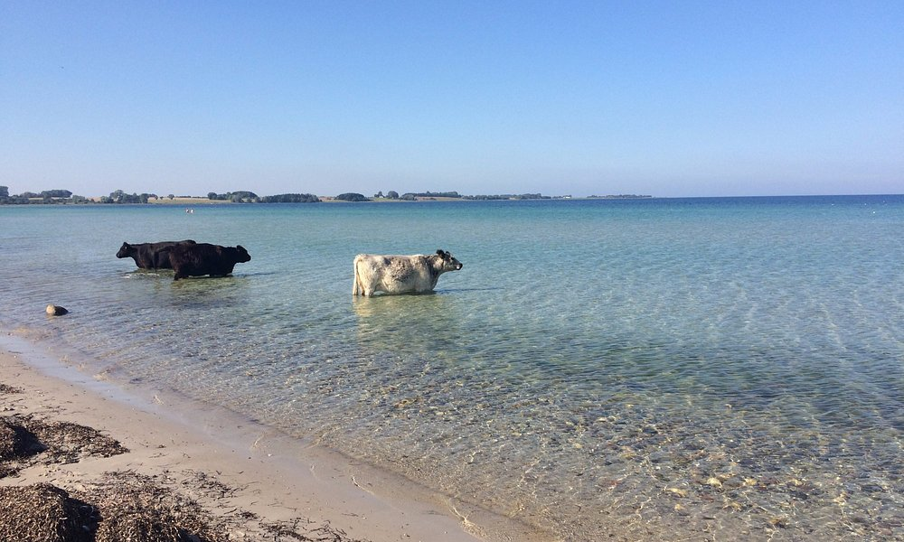 The free-roaming Galloway herd in the Vesterlyng area graze (and chill out) in the water