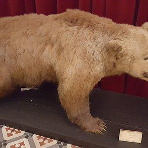 A stuffed bear, Coimbra Museo Zoologia