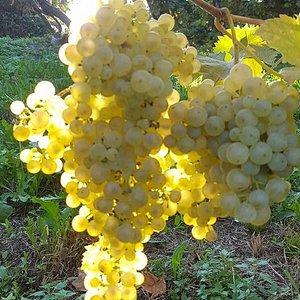 uva glera,Prosecco 2016