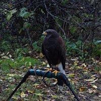 A Harris's Hawk