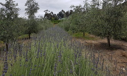 Lavender in bloom and ready for distilling !