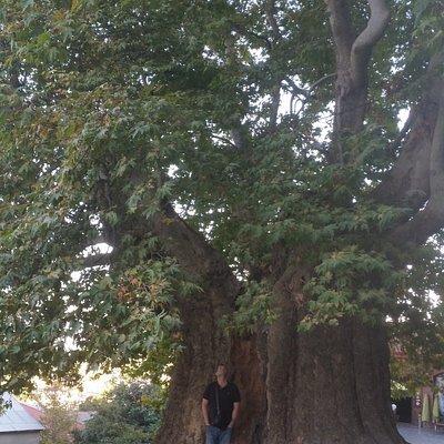 The diametr of the tree more than 3 meters