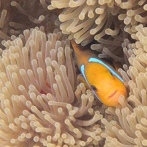 Clown fish in sea anemone