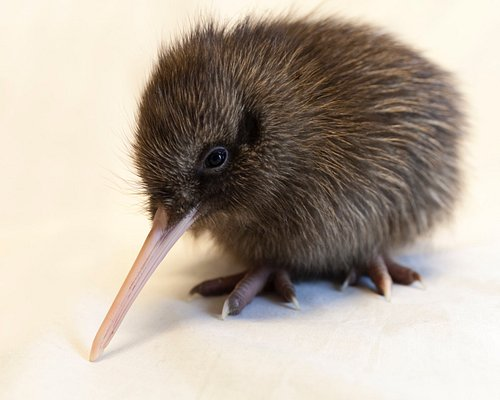 Meet Swifty - one of our kiwi chicks !