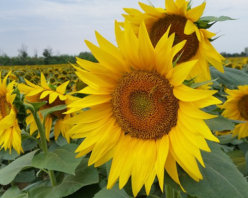 Sunflowers of Tuscany!!!