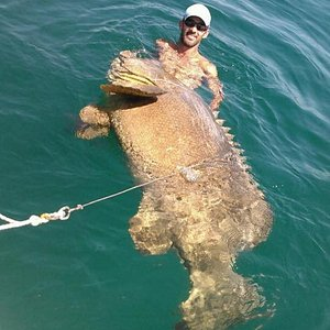 Huge Goliath Grouper.