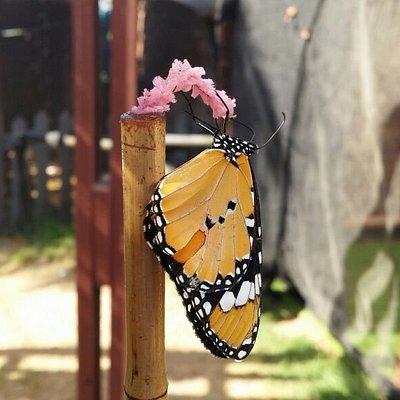 A butterfly drinking sweet water